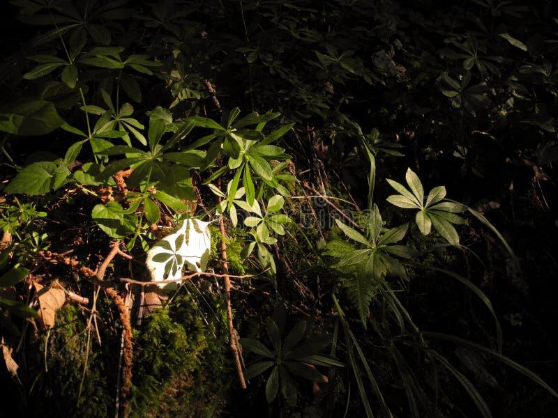 Ljust område ovanför den mörka skuggan av växten i skog royaltyfri bild