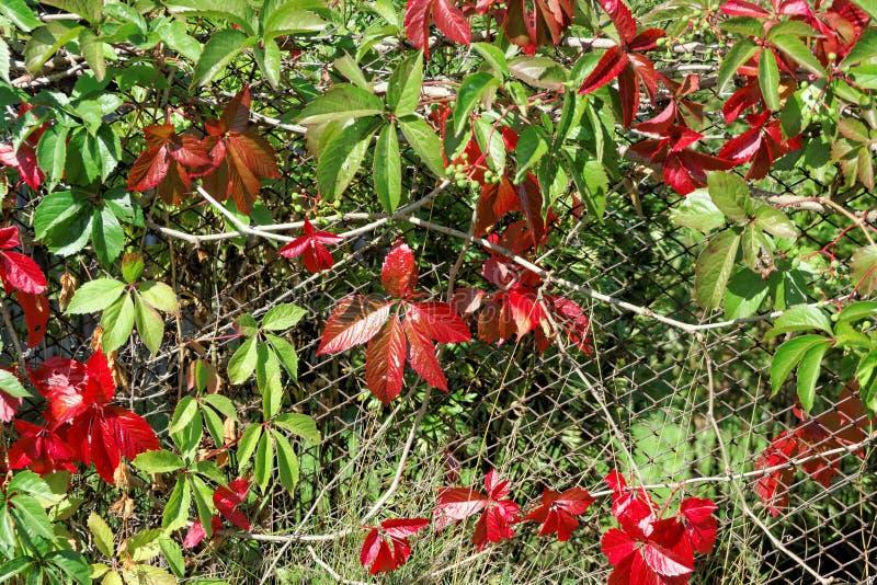 Ljust röda och gröna höstsidor av dekorativa druvor som flätas ihop med ett gammalt ingrepp, fäktar royaltyfri bild