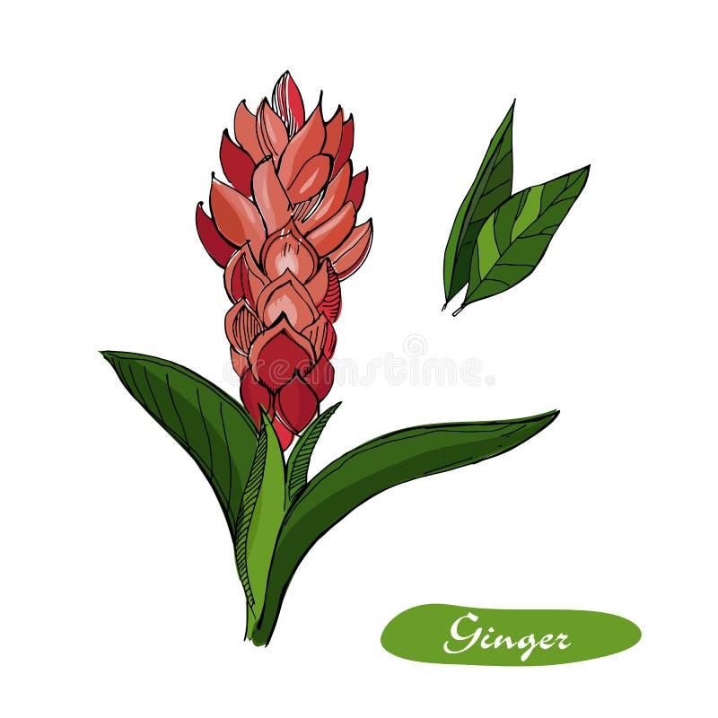 Ljust rödbrun hand dragen vektorillustration Specificerad färgrik stil skissar Växt- krydda för kök och matingrediens Ingefära vektor illustrationer