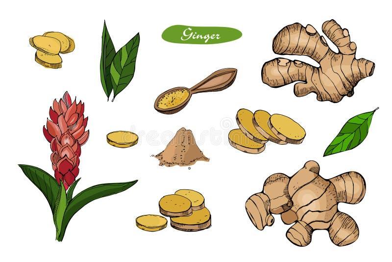 Ljust rödbrun hand dragen vektorillustration Specificerad färgrik stil skissar Växt- krydda för kök och matingrediens Ingefära royaltyfri illustrationer