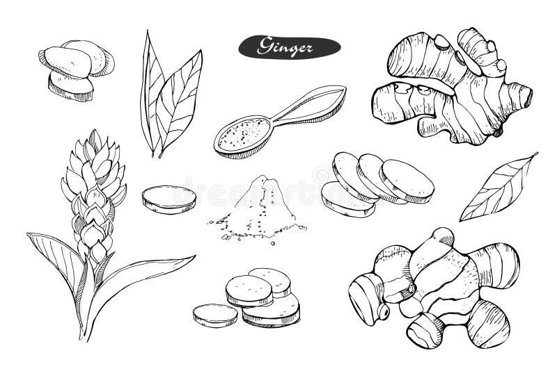 Ljust rödbrun hand dragen vektorillustration Specificerad färgrik stil skissar Växt- krydda för kök och matingrediens Ingefära stock illustrationer