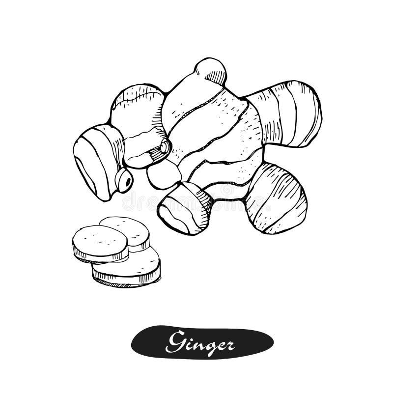 Ljust rödbrun hand dragen vektorillustration Specificerad retro stil skissar Växt- krydda för kök och matingrediens Rota ingefära vektor illustrationer