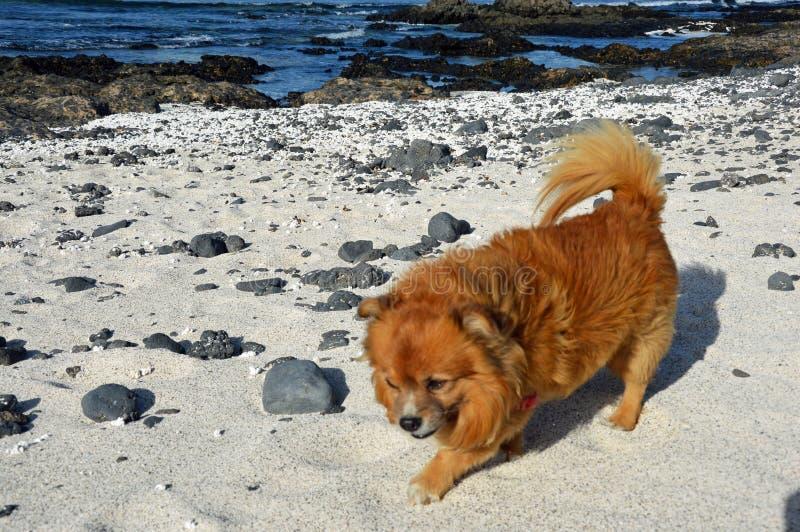 Ljust rödbrun hund på stranden arkivfoto