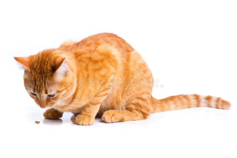 Ljust rödbrun isolerad kattståendestudio arkivbild