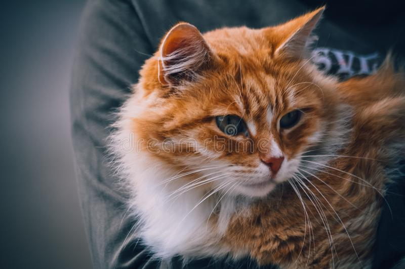 Ljust rödbrun katt i händer som ser den förgångna kameran royaltyfri fotografi