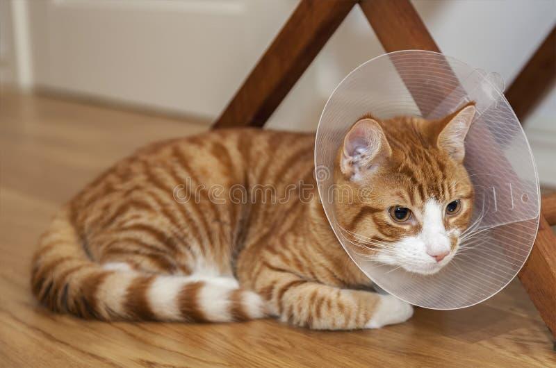 Ljust rödbrun katt på golv royaltyfri bild