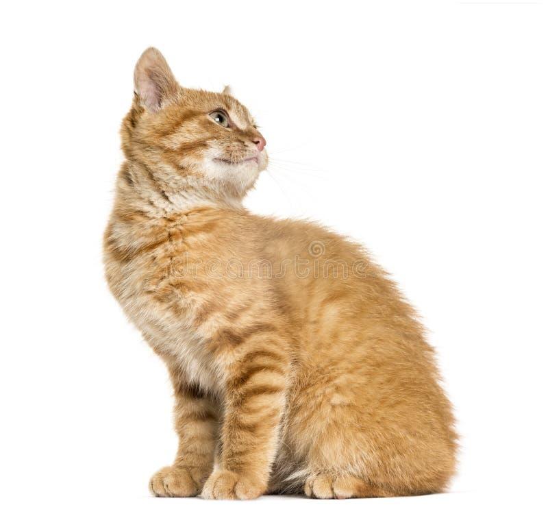 Ljust rödbrun katt som ser bak och ser upp, sitta som isoleras på whit royaltyfria bilder