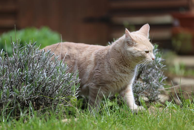 Ljust rödbrun kattplayin i trädgård arkivfoton