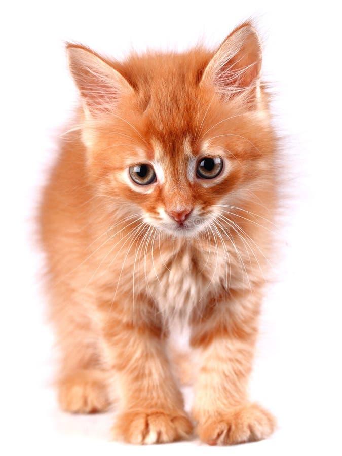Download Ljust rödbrun kattunge fotografering för bildbyråer. Bild av päls - 27287235