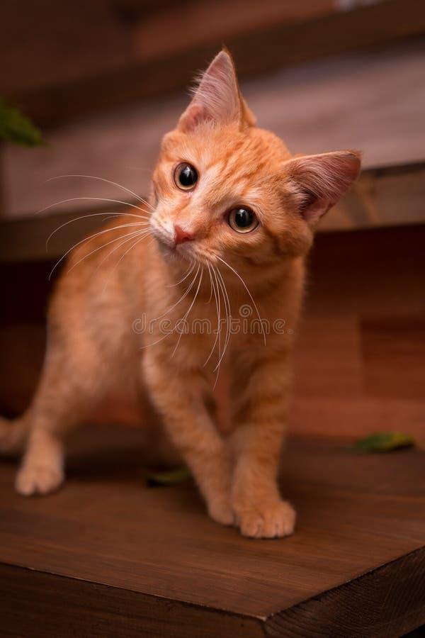 Ljust rödbrun kattunge på trappan arkivfoton