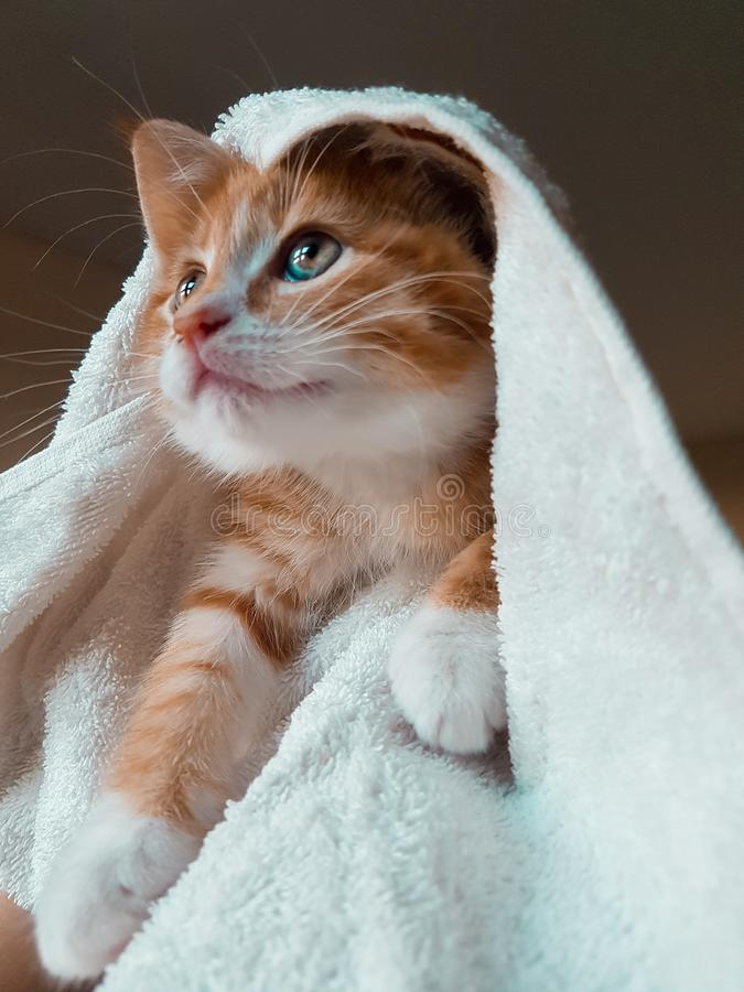 Ljust rödbrun kattunge som slås in i handduk arkivfoto