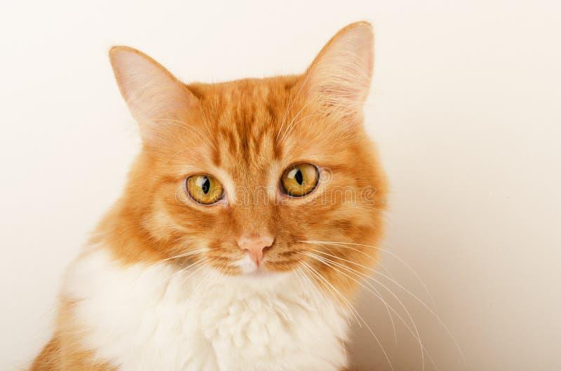 Ljust rödbrun nyfiken katt, sammanträde som isoleras arkivfoton