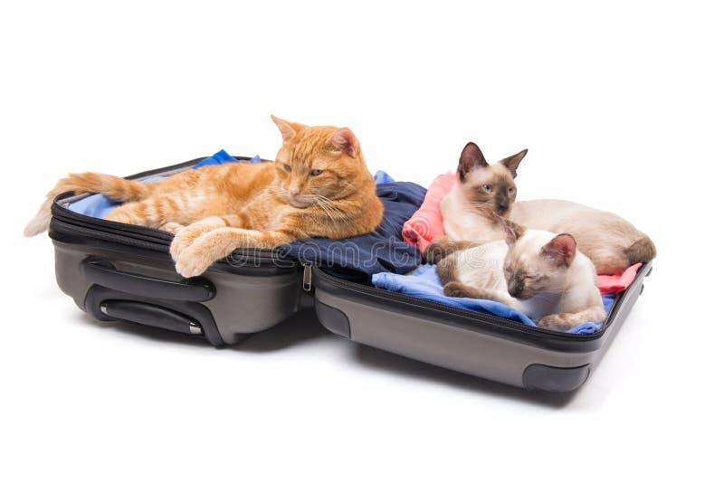 Ljust rödbrun strimmig katt och två Siamese kattungar som kopplar av på ett öppet, packat upp bagage royaltyfri bild