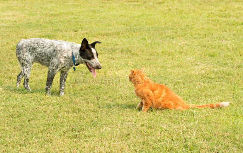 Ljust rödbrun strimmig kattkatt och en prickig hund i ett dödläge, arkivfoton