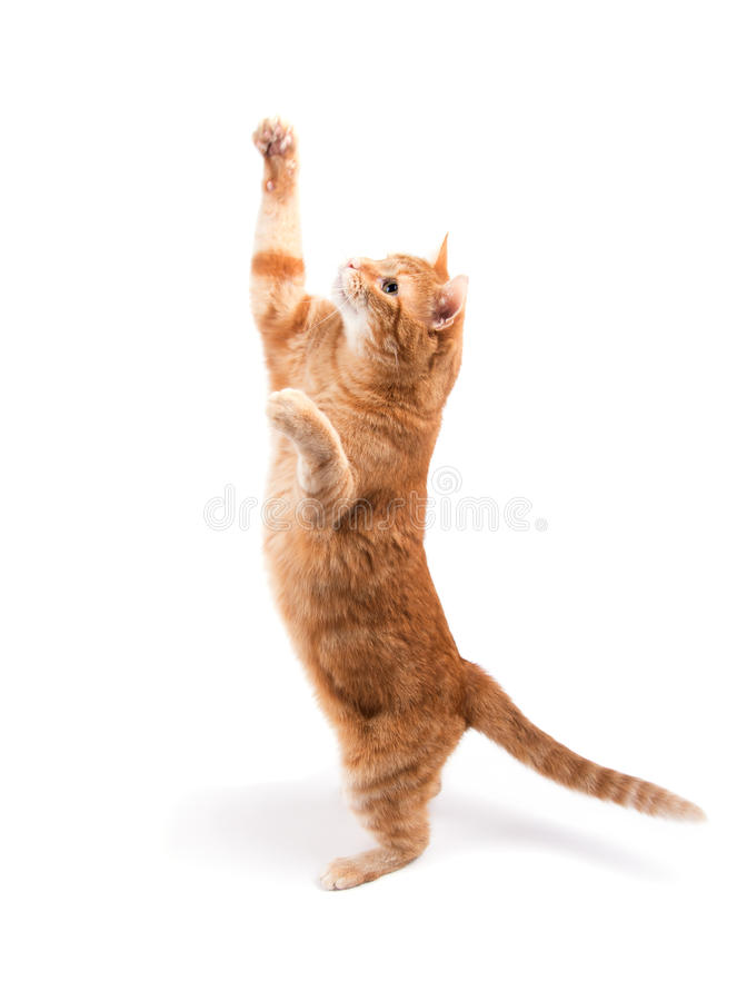 Ljust rödbrun strimmig kattkatt som når högt upp royaltyfri foto