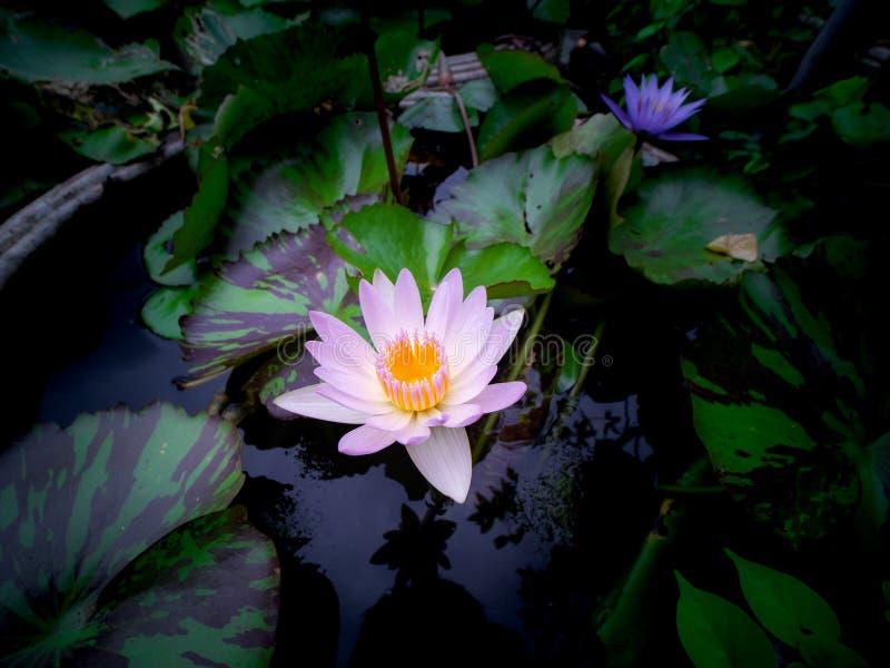 Ljust - rosa Lotus på krukan arkivfoton