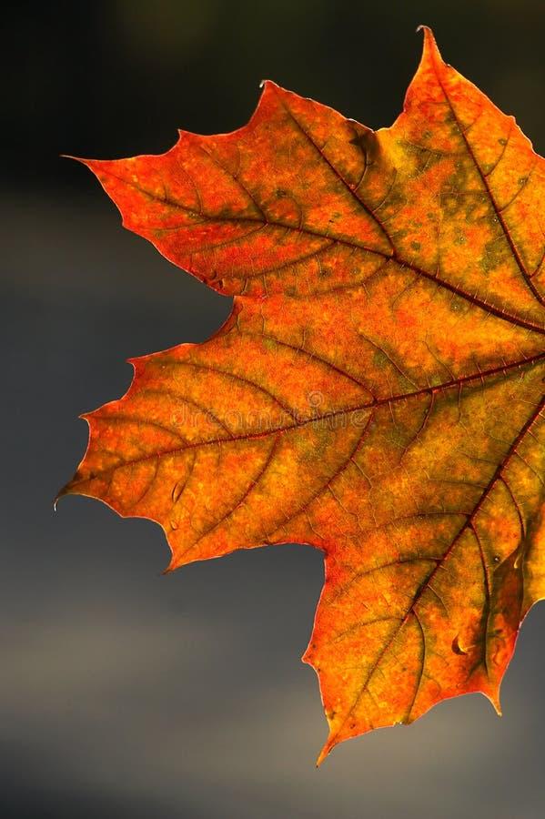 Download Ljust skinen leaf fotografering för bildbyråer. Bild av vissna - 281633