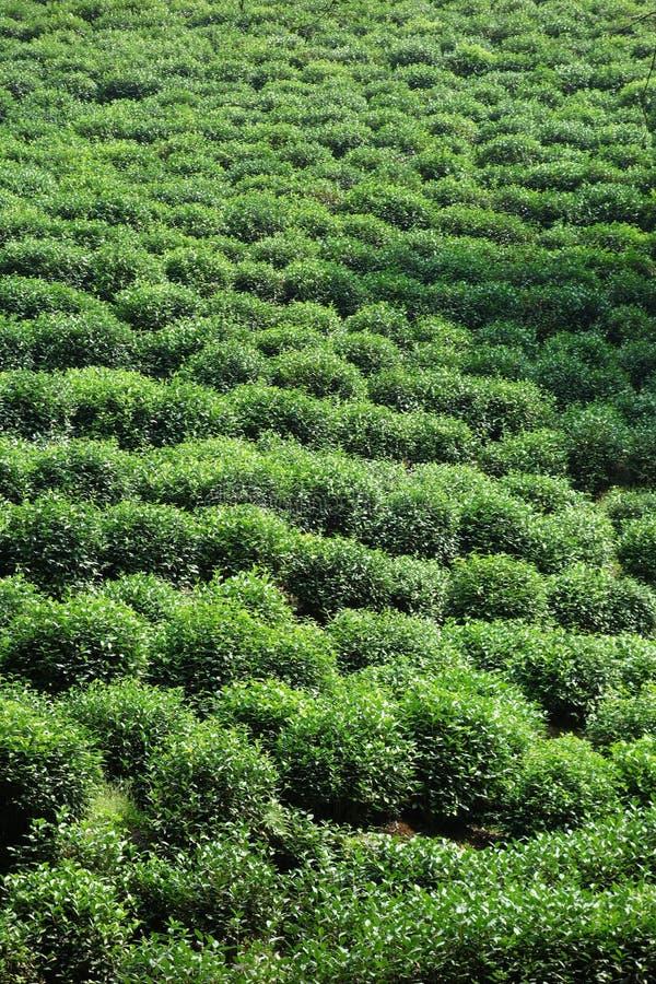 Ljust skott av grönt gräs i tefält i Hangzhou, Kina royaltyfria bilder