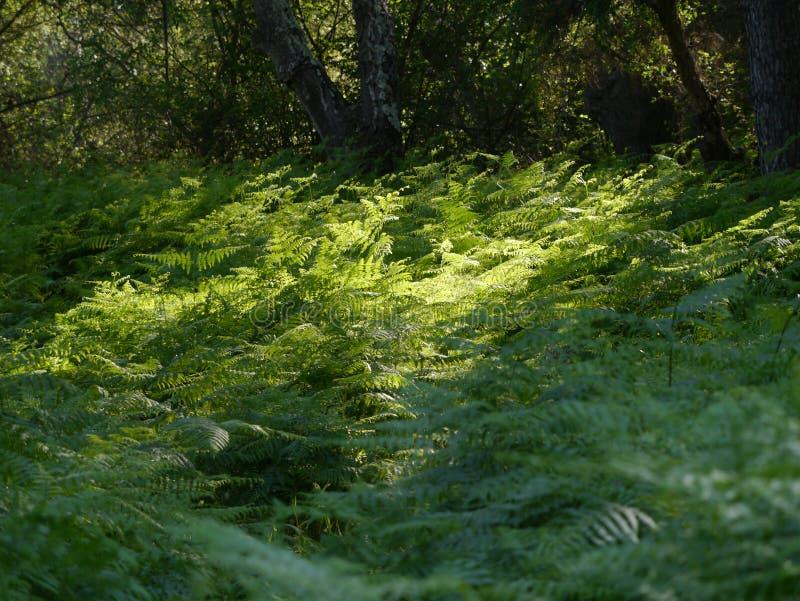 Ljust skriva in i en skog av ormbunken royaltyfria foton
