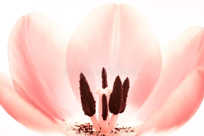 Ljust - slut för makro för rosa tulpanblomma extremt upp Inre blomma för detaljtulpan med pistillen, ståndare, glödtråden, stigma royaltyfri bild