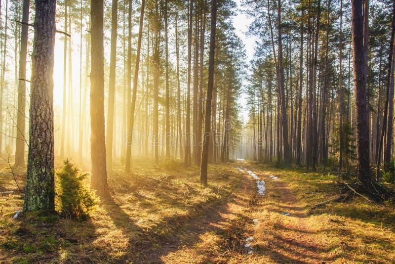 Ljust solljus i landskap för vårskogmorgon av den pittoreska skogvägen för grön skog Skogsmark med livliga solstrålar arkivbild