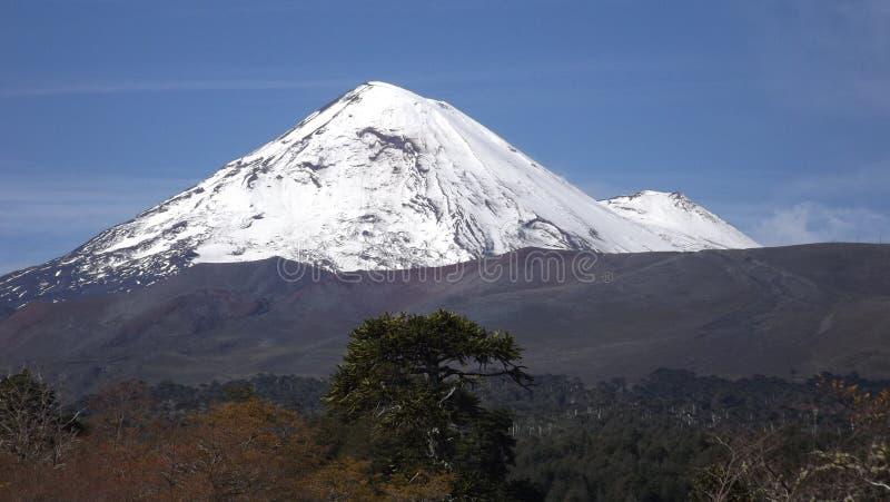 Llaima vulkan och araucaria royaltyfri foto