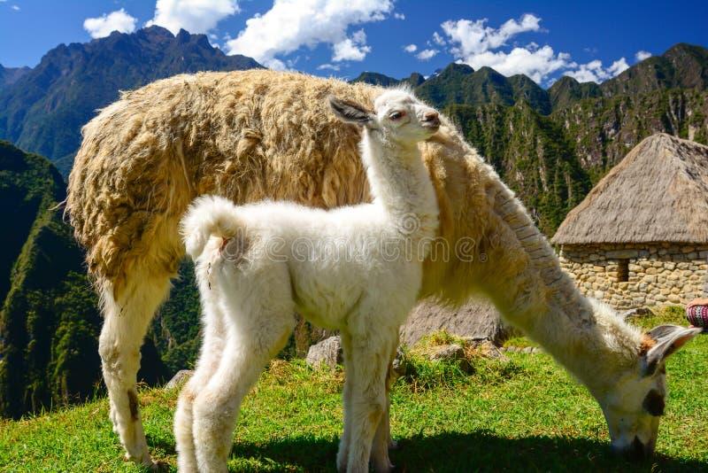 Llama妈妈 图库摄影