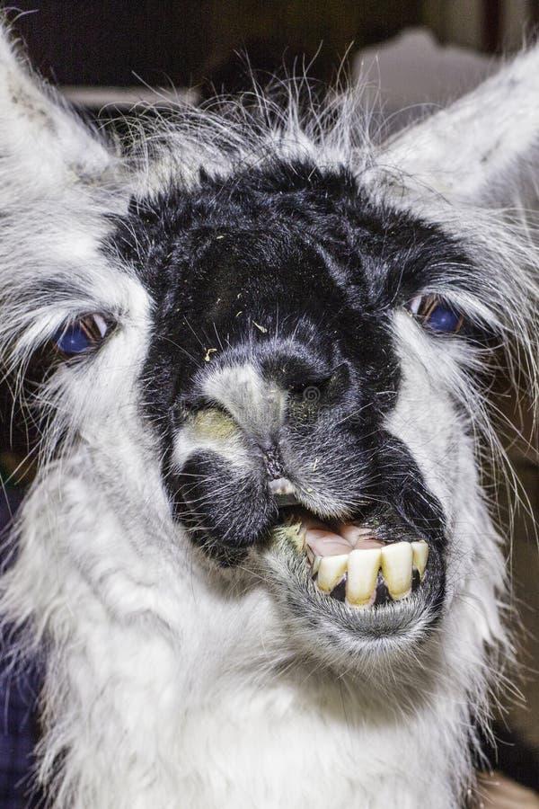 Llama αστείο στοκ φωτογραφίες