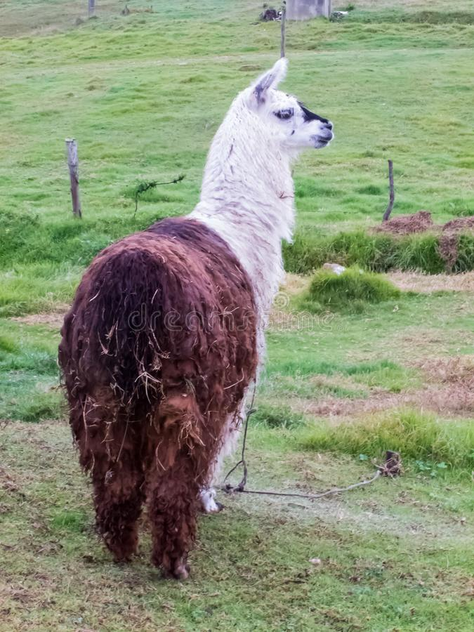 Llama κάλεσε επίσης τη προβατοκάμηλο σε έναν πράσινο τομέα στα κολομβιανά βουνά στοκ εικόνες