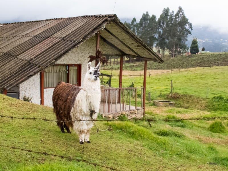 Llama κάλεσε επίσης τη προβατοκάμηλο σε έναν πράσινο τομέα στα κολομβιανά βουνά στοκ εικόνες με δικαίωμα ελεύθερης χρήσης