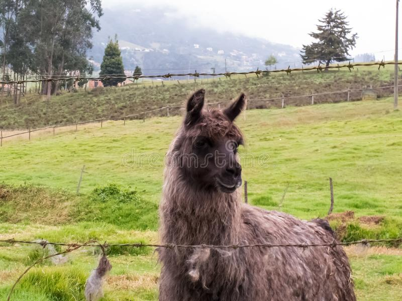 Llama κάλεσε επίσης τη προβατοκάμηλο σε έναν πράσινο τομέα στα κολομβιανά βουνά στοκ φωτογραφία με δικαίωμα ελεύθερης χρήσης