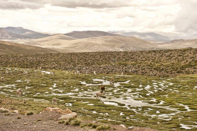 Download Llama και προβατοκάμηλος σε έναν τομέα Στοκ Εικόνα - εικόνα από γούνινος, φυσικός: 62714127
