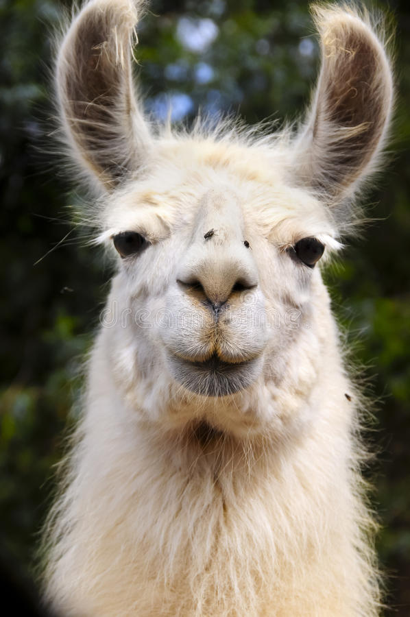 llama λευκό στοκ εικόνες