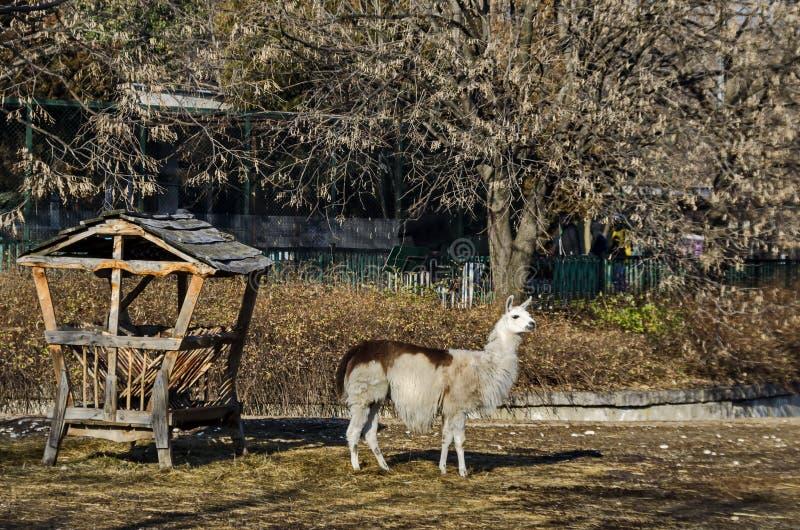 Llama που κοιτάζει αμέσως στην αυλή στοκ εικόνες