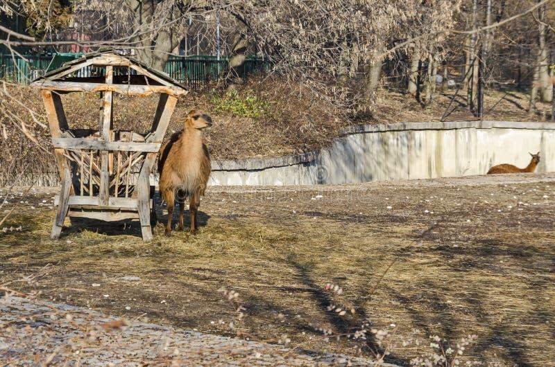 Llama που κοιτάζει αμέσως στην αυλή στοκ εικόνα με δικαίωμα ελεύθερης χρήσης