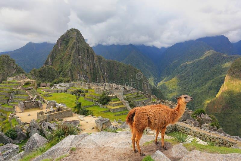 Llama που στέκεται σε Machu Picchu αγνοεί στο Περού στοκ εικόνες