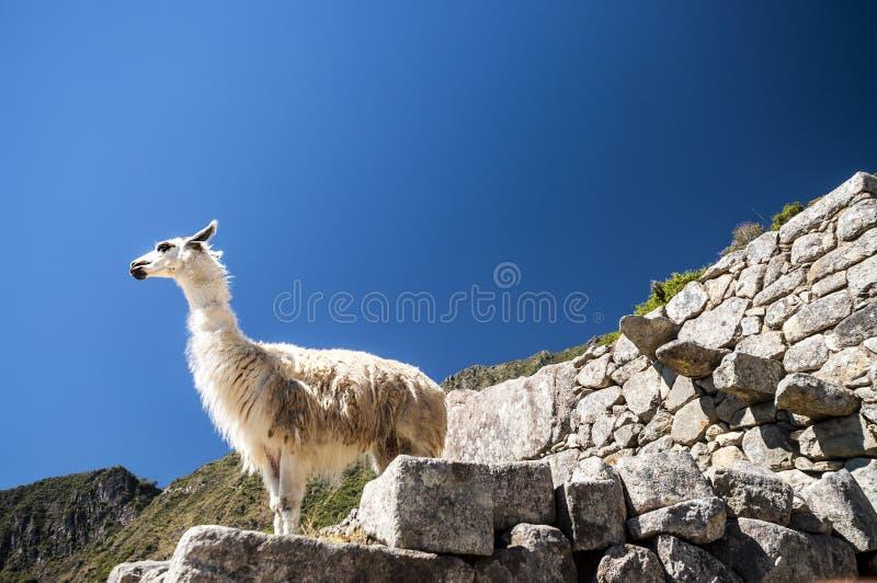 Llama που στέκεται στις καταστροφές picchu Macchu στοκ εικόνα με δικαίωμα ελεύθερης χρήσης