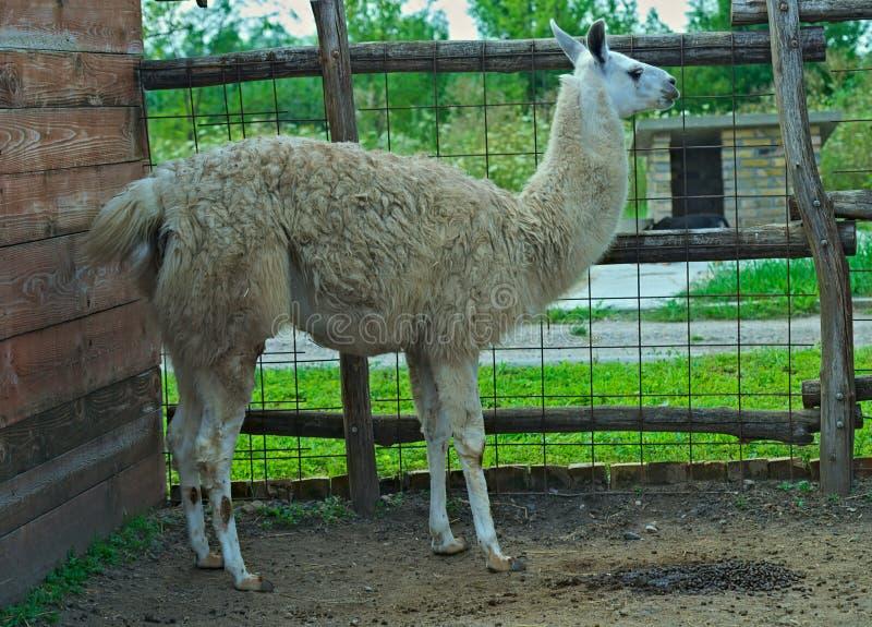 Llama που στέκεται στο περιφραγμένο κιβώτιο στο ζωολογικό κήπο στοκ φωτογραφίες