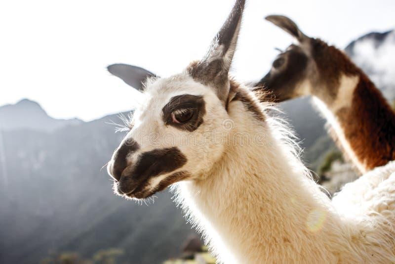 Llama σε Machu Picchu, Cuzco, Περού στοκ εικόνα