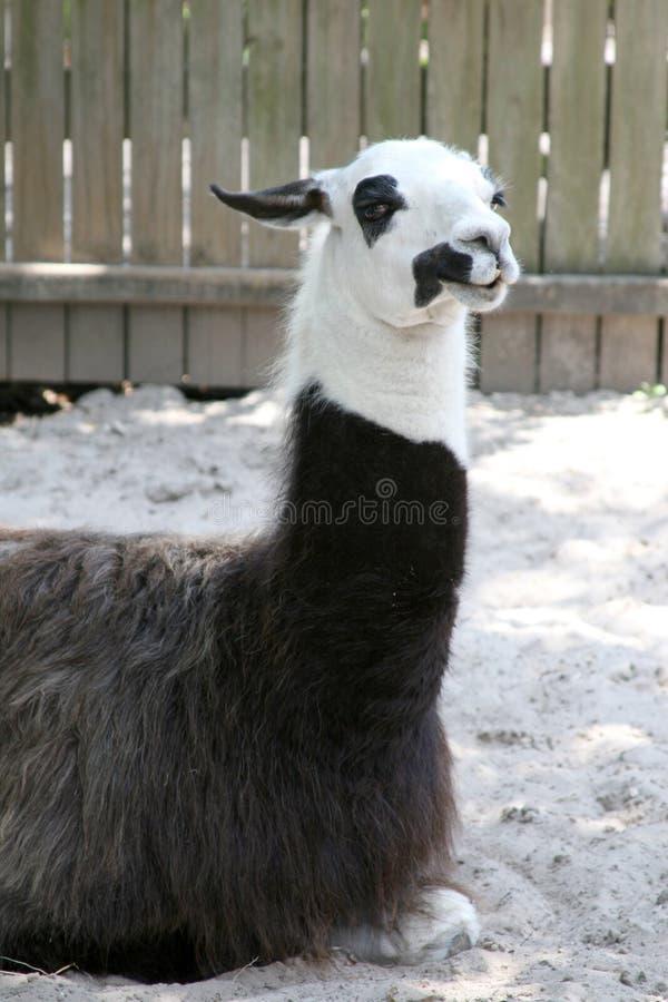 llama στήριξη στοκ φωτογραφία με δικαίωμα ελεύθερης χρήσης