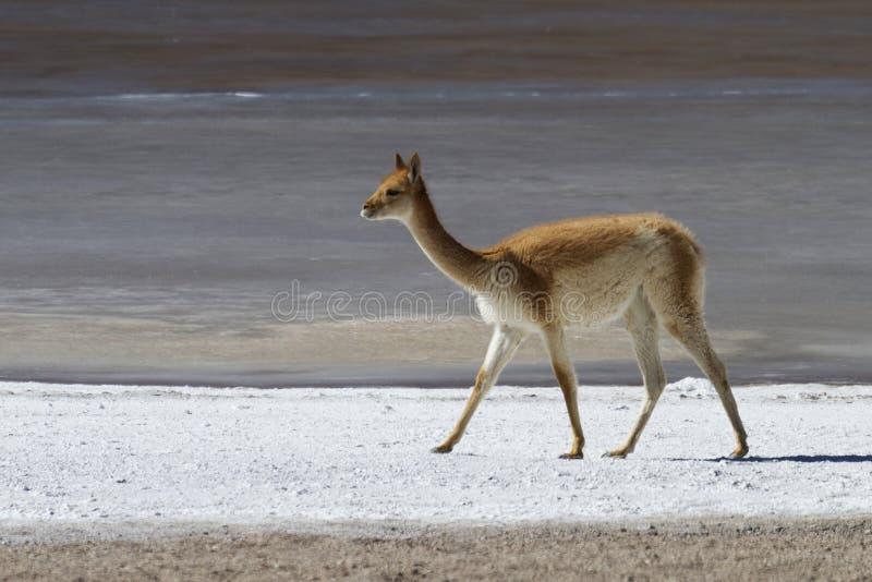 Llama στις αλμυρές τράπεζες στοκ φωτογραφία με δικαίωμα ελεύθερης χρήσης