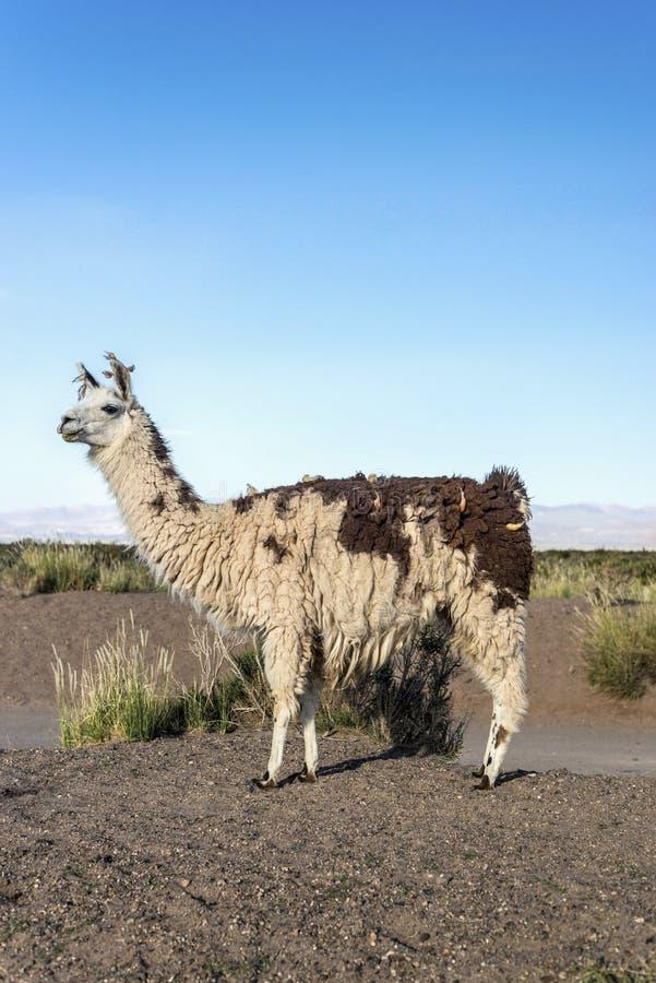 Llama στις αλυκές Grandes σε Jujuy, Αργεντινή. στοκ φωτογραφία