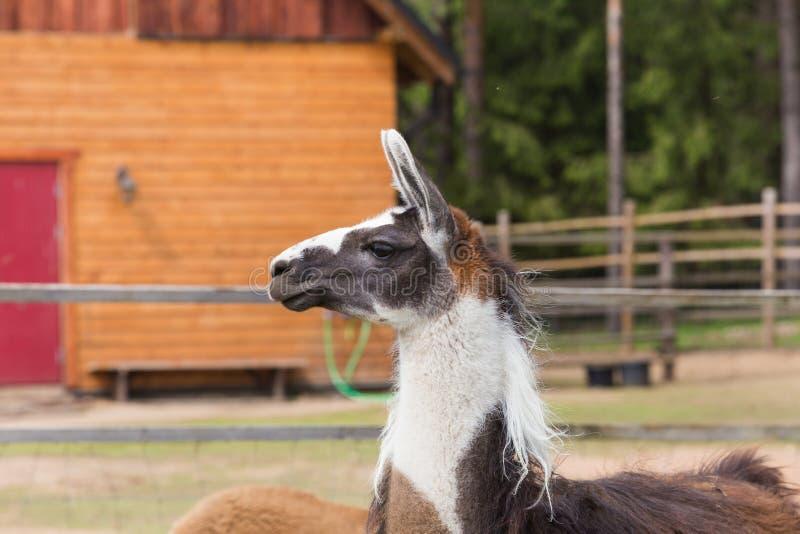 Llama χαλαρώνει την άνοιξη την ηλιόλουστη ημέρα στοκ εικόνα