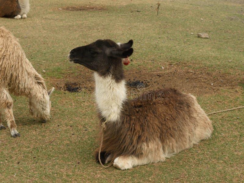 Llama в Перу стоковые изображения