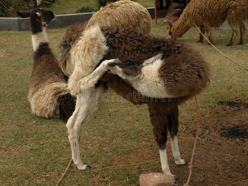 Llama в Перу стоковые изображения rf