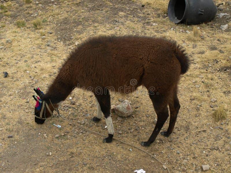 Llama в Перу стоковое фото
