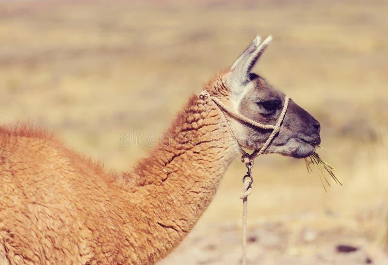 llama stockbilder
