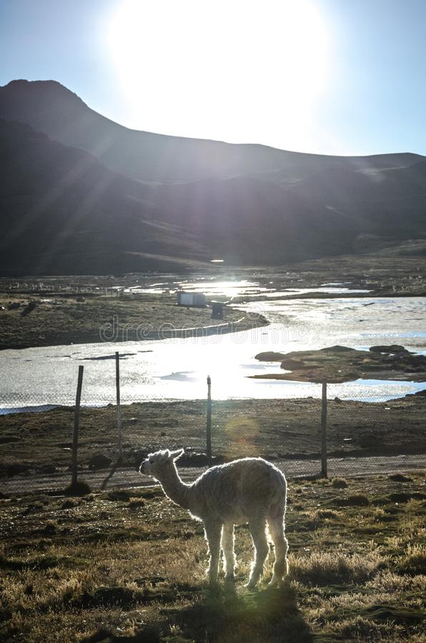 llama stockfotografie