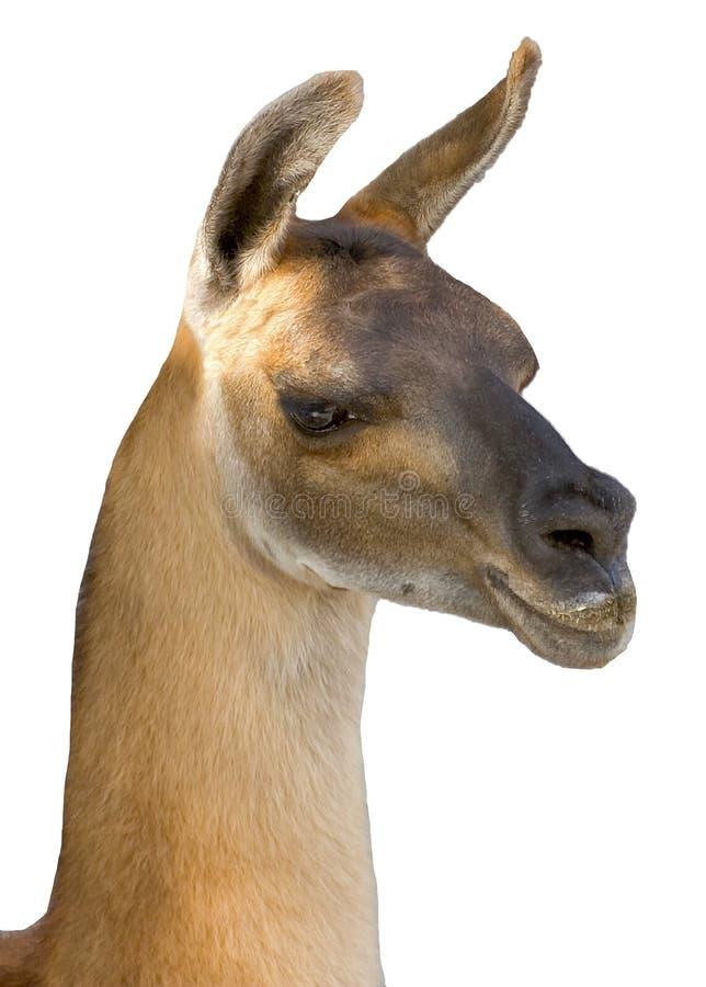 Free Llama Royalty Free Stock Image - 13103216