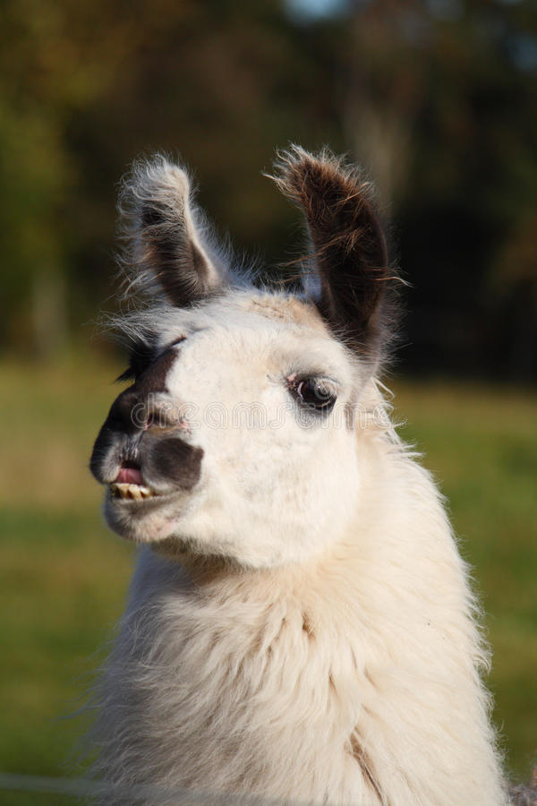 Download Llama stock image. Image of wild, cute, andes, furry - 16871091